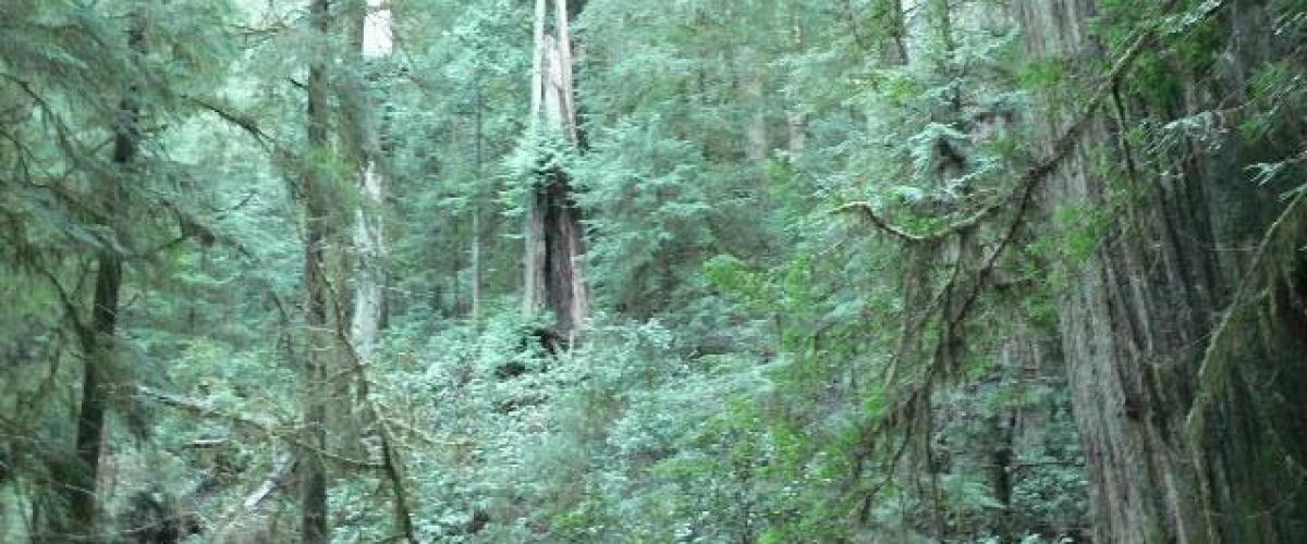 redwoods-1-06d