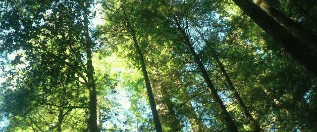 redwoods-1-06c